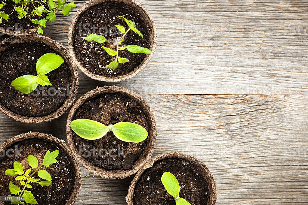 Seedlings growing in peat moss pots stock photo