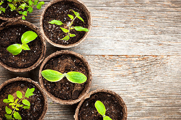 Seedlings growing in peat moss pots Potted seedlings growing in biodegradable peat moss pots on wooden background with copy space medium group of objects stock pictures, royalty-free photos & images