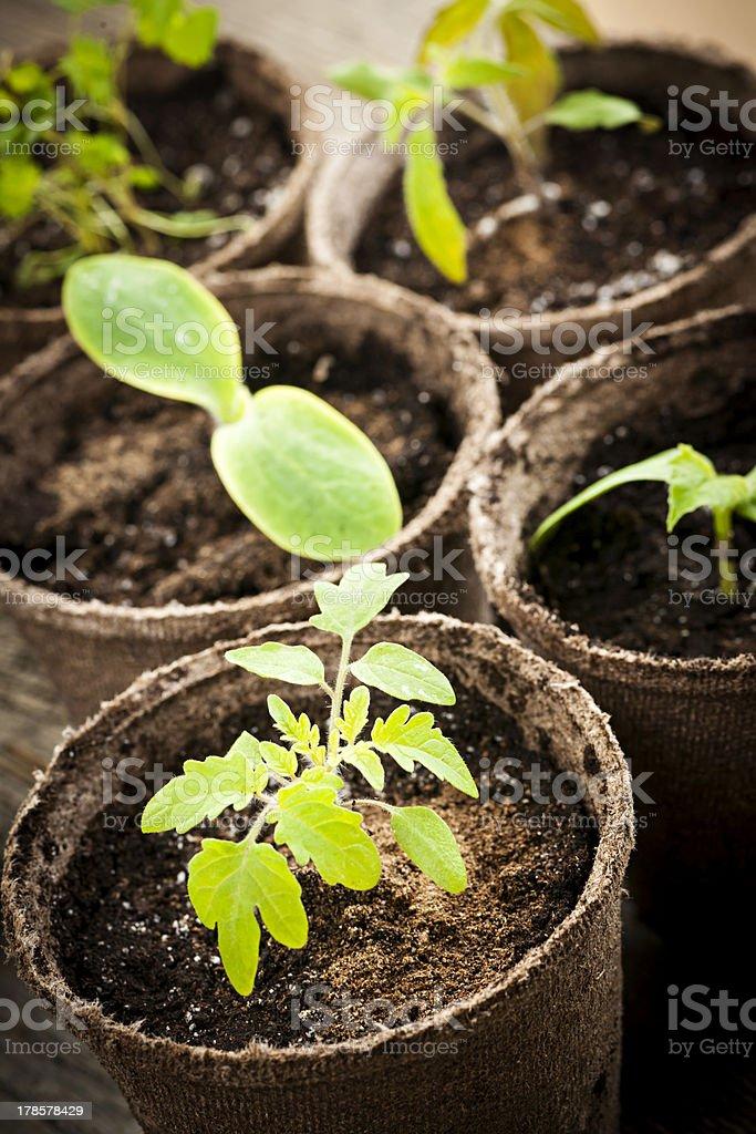 Seedlings growing in peat moss pots stock photo