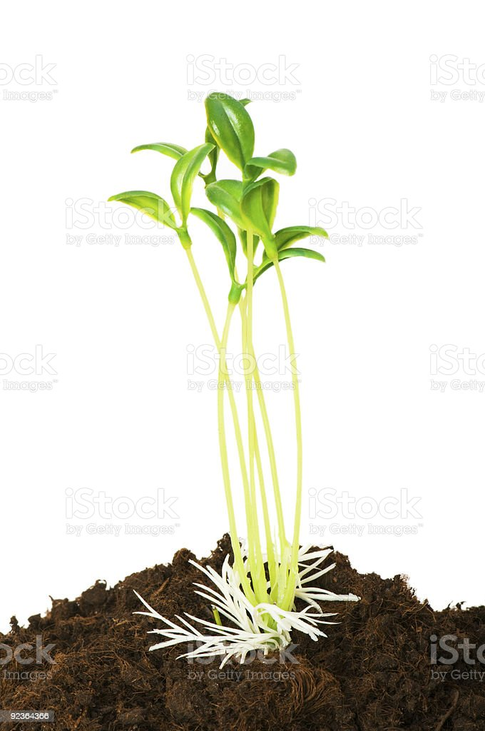 Seedlings illustrating the concept of new life royalty-free stock photo