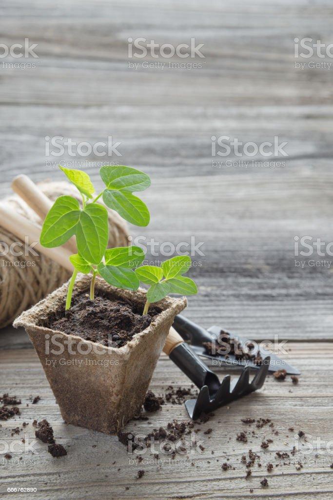 Seedlings in a peat pot foto stock royalty-free