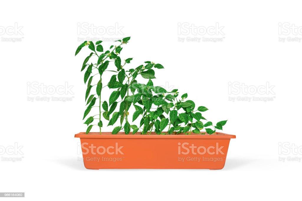Zaailingen in een pot geïsoleerd over Wit - Royalty-free Binnenopname Stockfoto