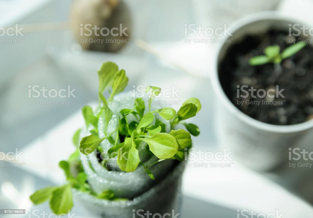 Seedlings in containers. royalty-free stock photo