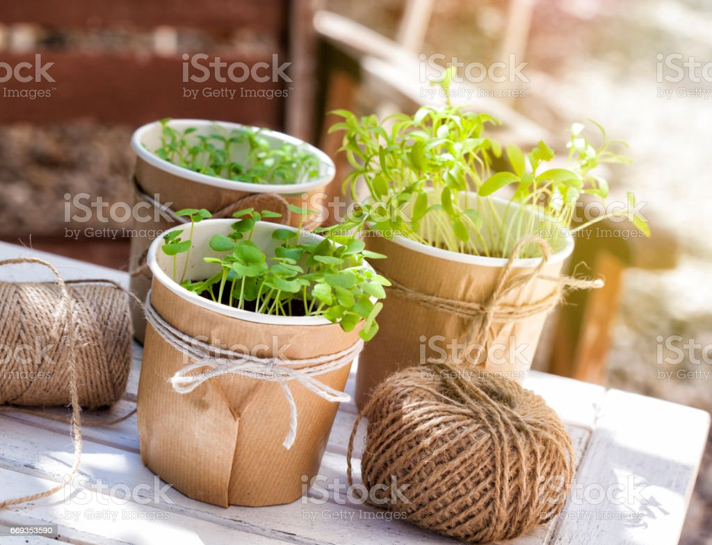 Seedlings of basil, coriander and parsley in an urban garden stock photo