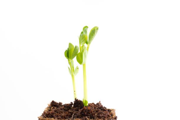 plantor av gröna ärter i torv gryta - pea sprouts bildbanksfoton och bilder