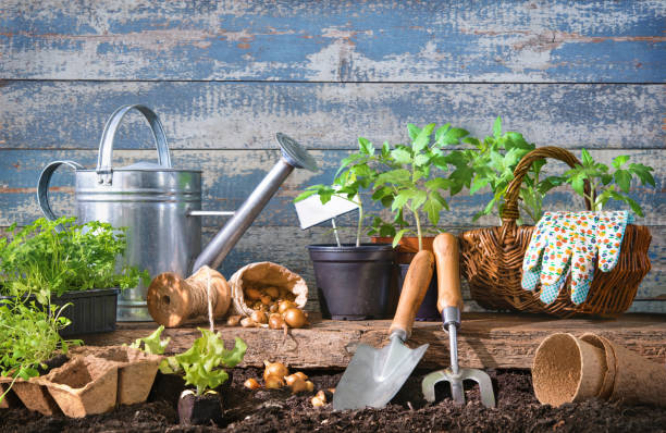 Seedlings of lettuce and tomatoes with gardening tools at the back yard stock photo