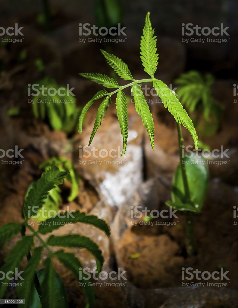 seedlings of Parkia speciosa royalty-free stock photo