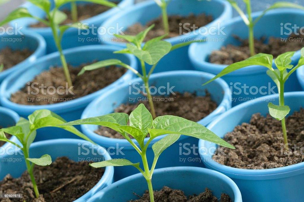Seedlings of pepper in the pots royalty-free stock photo