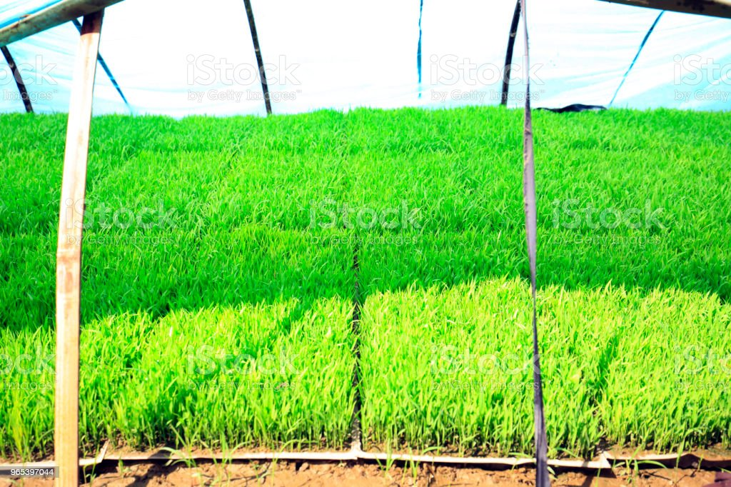 Seedlings of rice in rice fields. zbiór zdjęć royalty-free