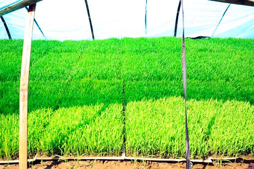 Seedlings Of Rice In Rice Fields - zdjęcia stockowe i więcej obrazów Azja