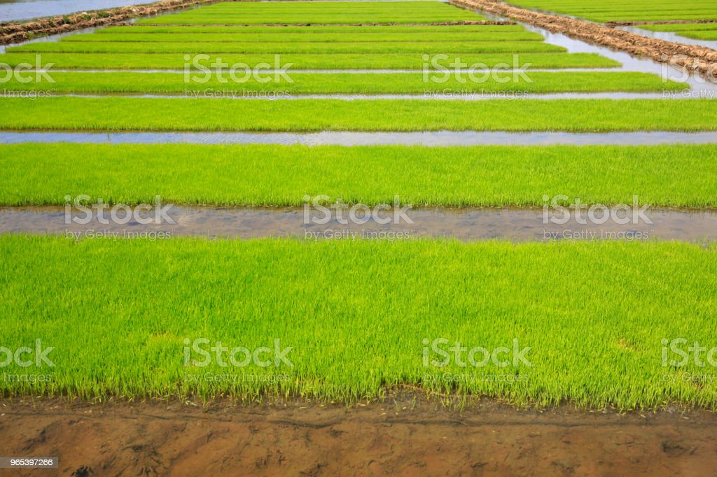 Seedlings of rice in rice fields. zbiór zdjęć royalty-free