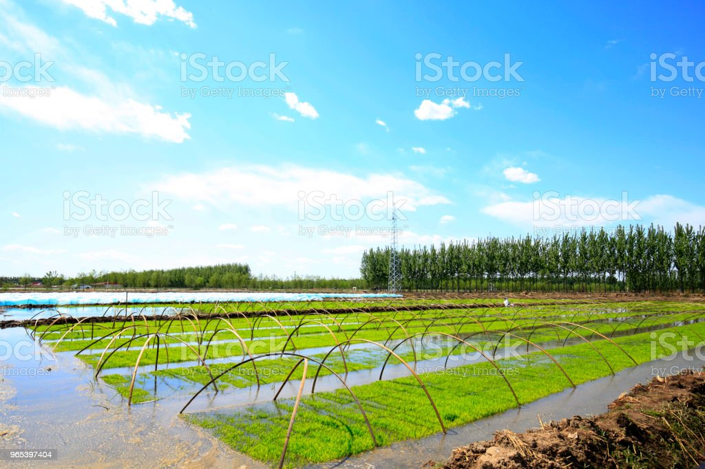 Seedlings of rice in rice fields. royalty-free stock photo