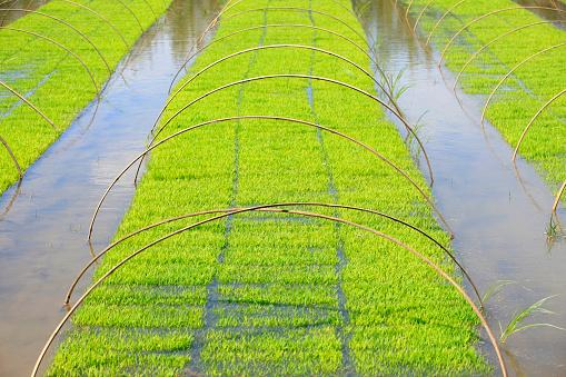 쌀 쌀 분야에서 모 종이 고 0명에 대한 스톡 사진 및 기타 이미지