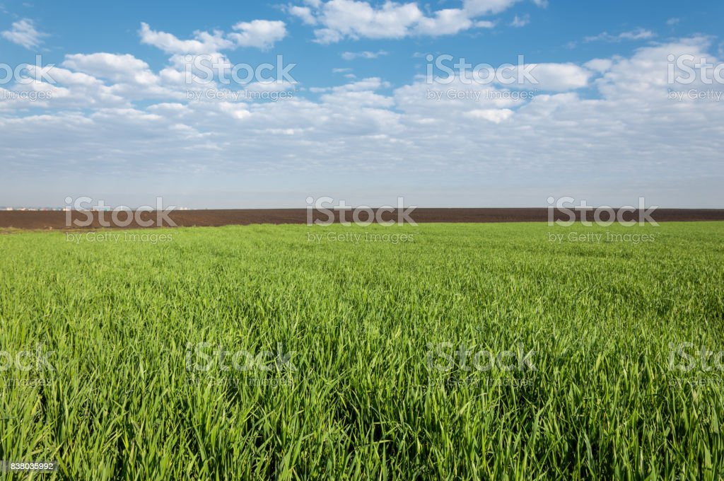 Seedlings of winter on the field stock photo