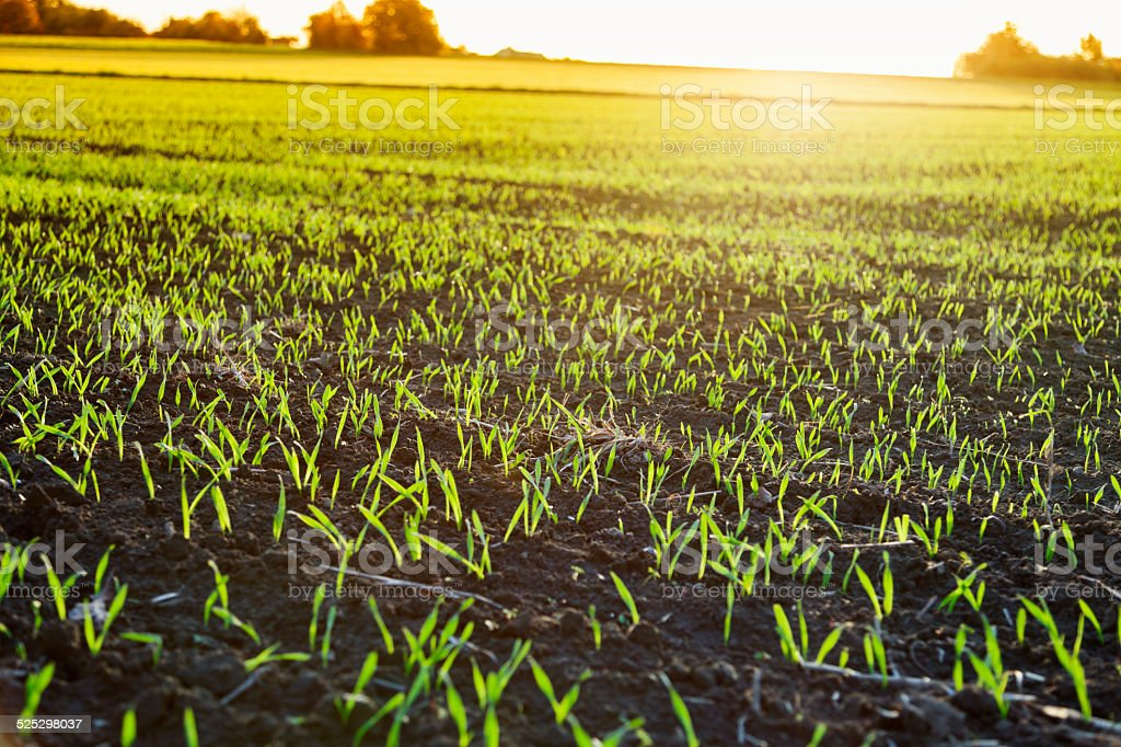 seedlings on field at sunset stock photo