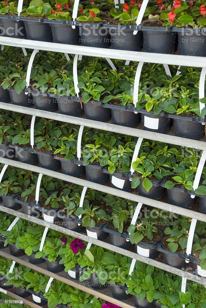 Seedlings on market royalty-free stock photo