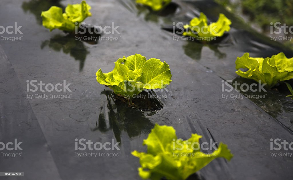 Seedlings royalty-free stock photo