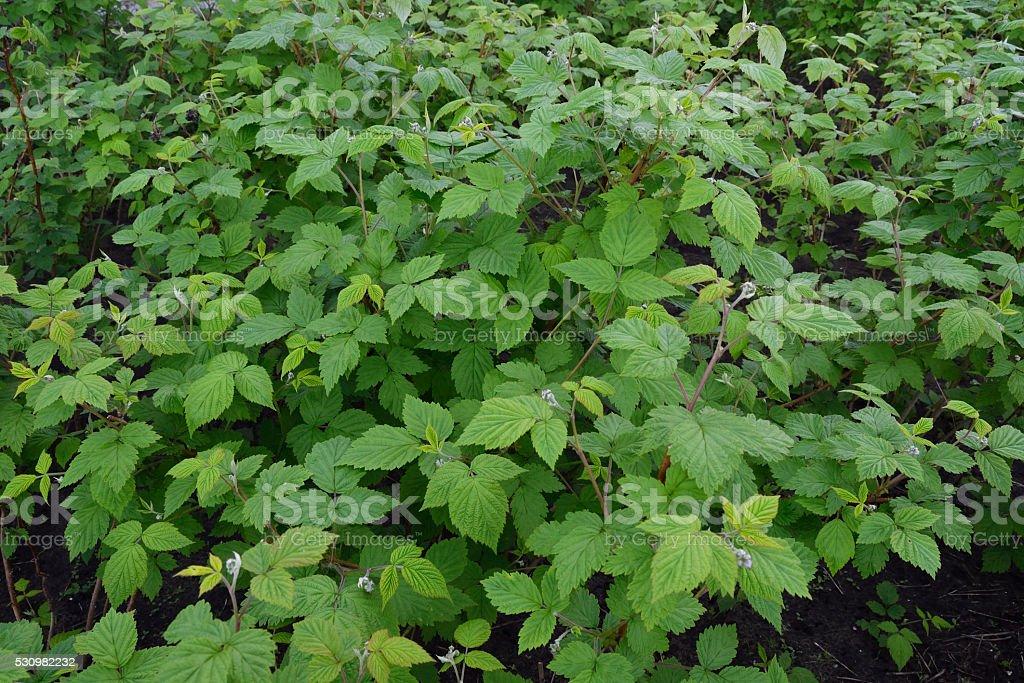 seedlings raspberry bushes royalty-free stock photo