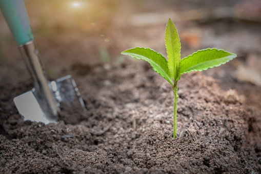 912882270 istock photo Seedlings that grow from the soil and planting spoons.World environment day concept Caring for seedlings that will grow Plant trees that are environmentally friendly.Planting to reduce global warming. 1239884328