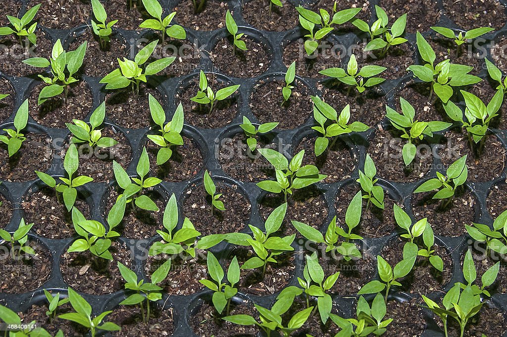 Seedlings vegetable in plastic tray royalty-free stock photo