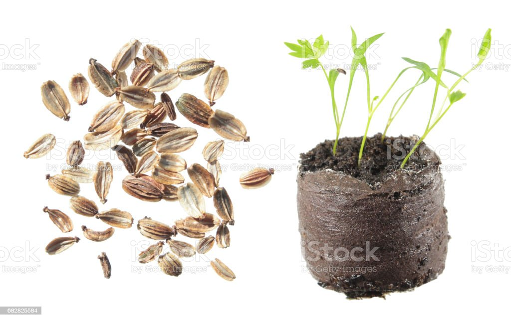 Seeds and seedling of lovage (Levisticum officinale) isolated on white background Lizenzfreies stock-foto