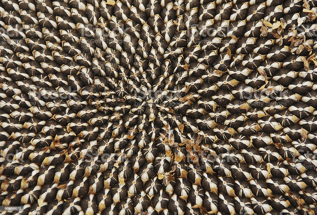 Seeds in Dried Sunflower Head royalty-free stock photo