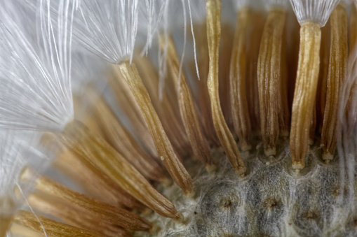 848267780 istock photo Seeds of a coltsfoot flower under a microscope. 847203154