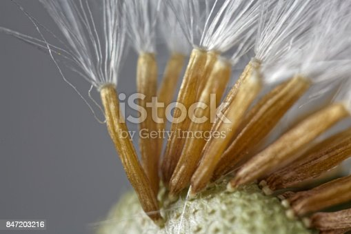 848267780istockphoto Seeds of a coltsfoot flower under a microscope. 847203216