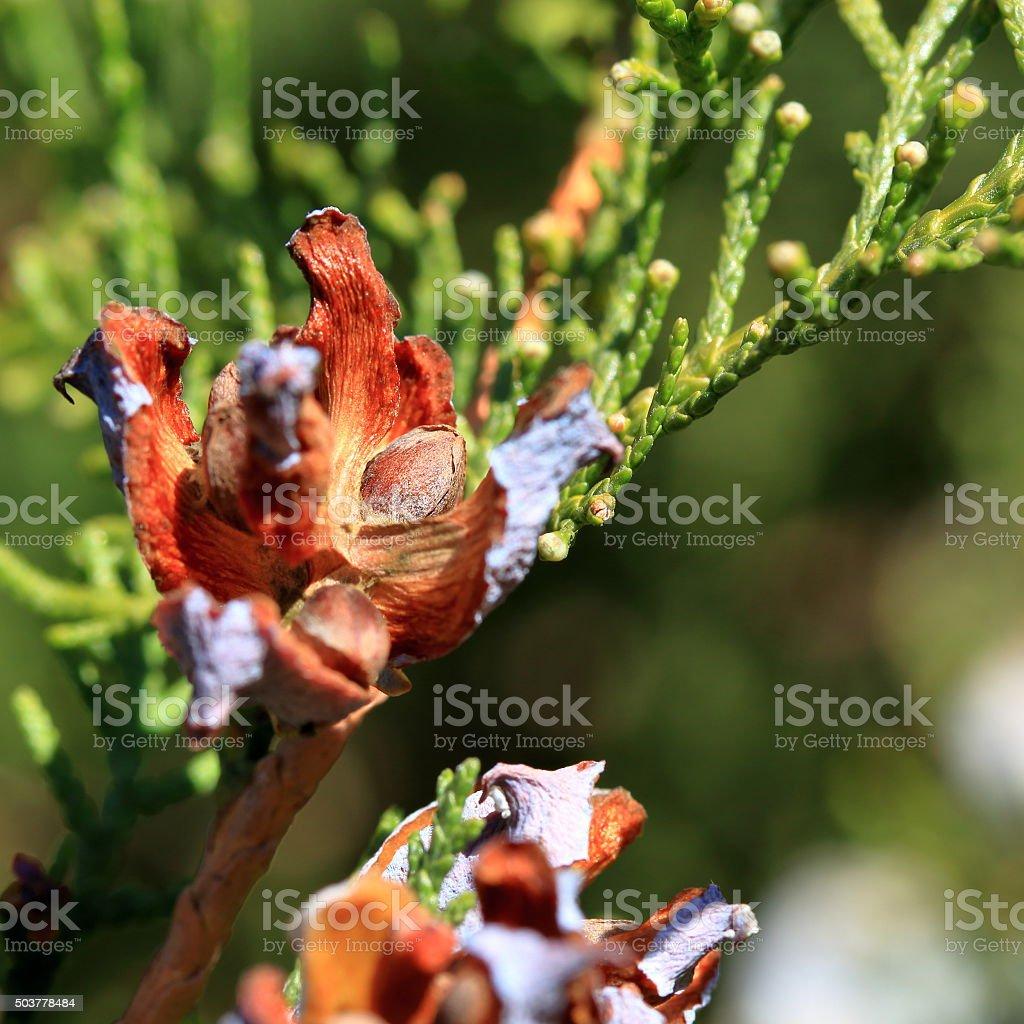 Seeds of a juniperus occidentalis (western juniper) close-up stock photo