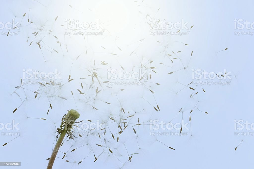 Seeds of dandelion fly away stock photo