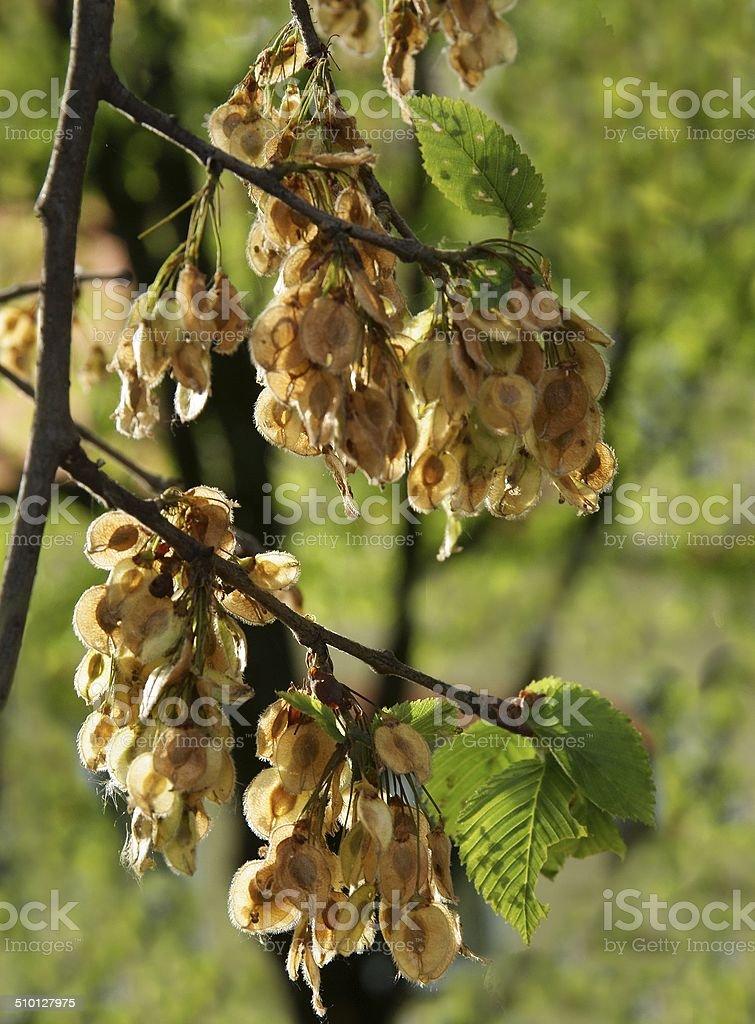 seeds of elm tree stock photo