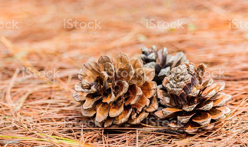 seeds of Khasiya Pine on forest moutaint stock photo