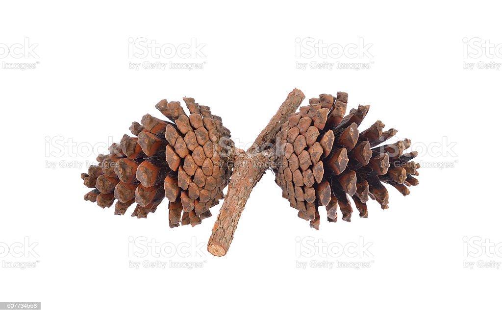 Seeds of Khasiya Pine on white background stock photo
