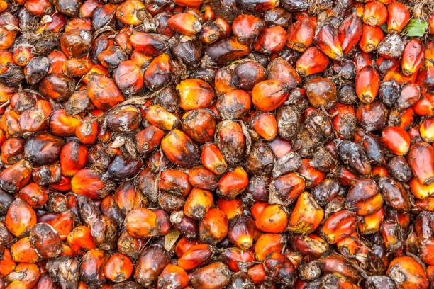 seeds of oil palm - oleo palma imagens e fotografias de stock
