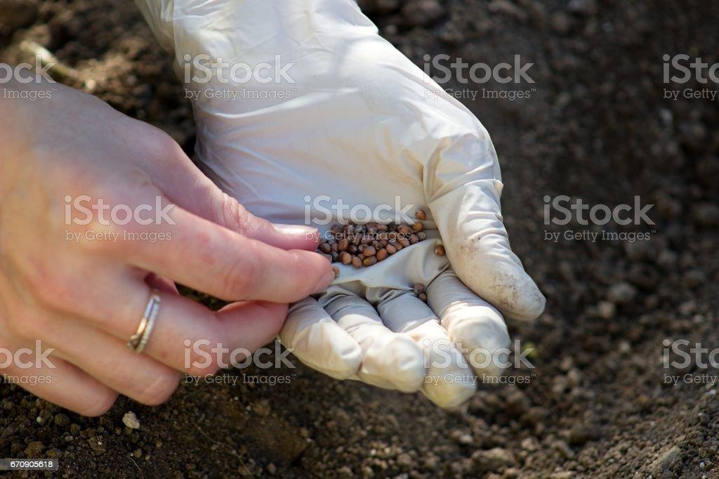 seeds of radish stock photo