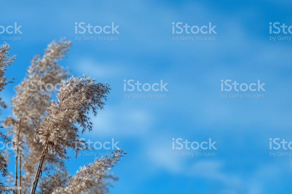Seeds of Reed royalty-free stock photo