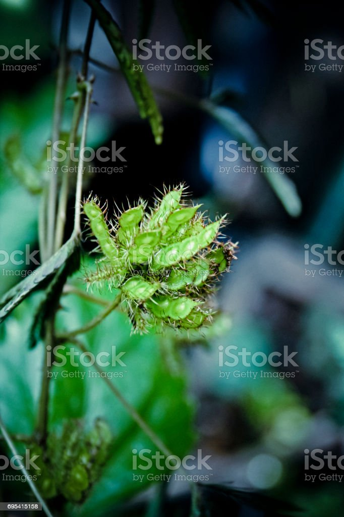 Seeds Of Sensitive Plant Mimosa Pudica Sensible Plant Stock
