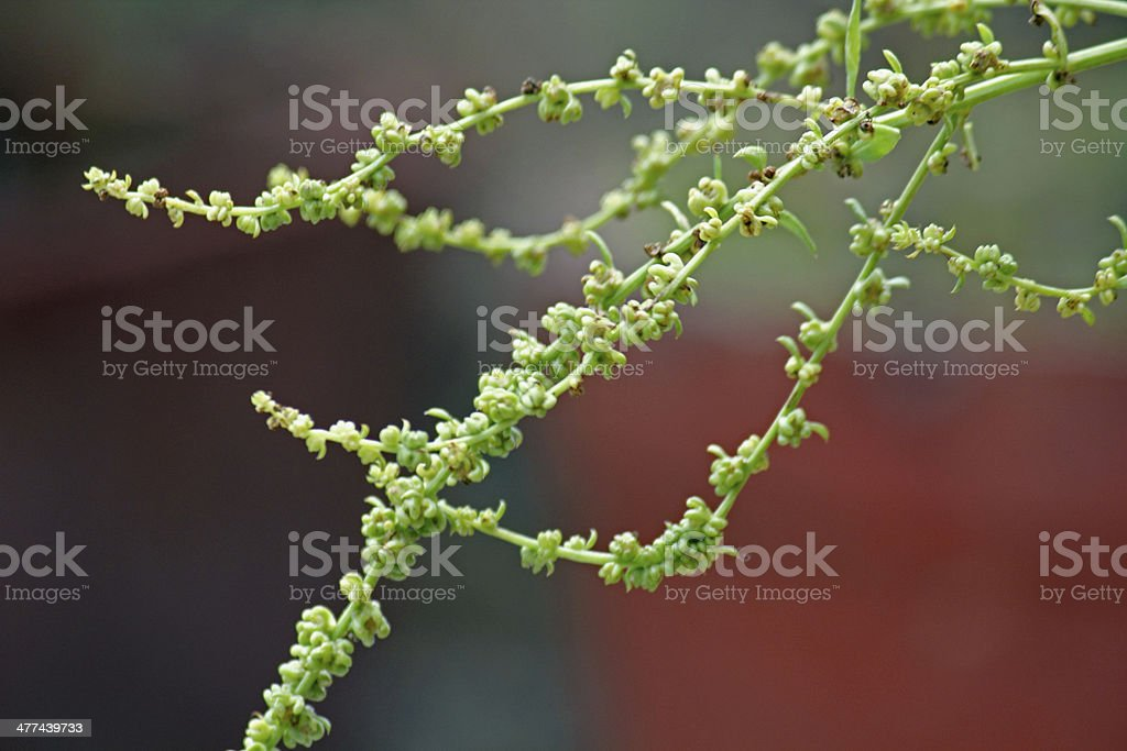 Seeds of Spinach, Spinacia oleracea royalty-free stock photo