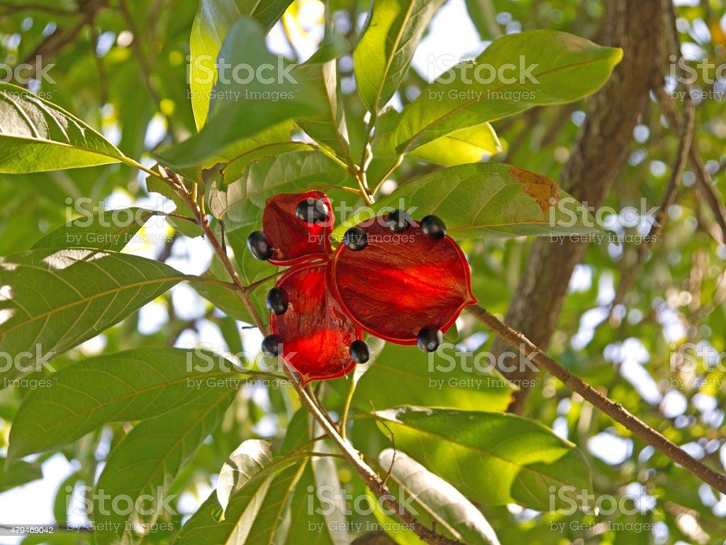 Seeds of Sterculia lanceolata tree stock photo