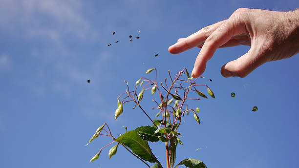 Seeds of the Impatiens Glandurifera flying around stock photo