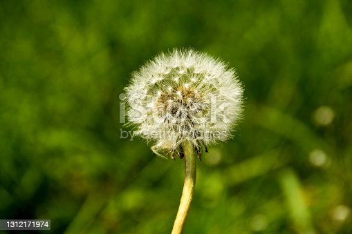 Close up of the stem and seeds of a dandelion weed. The seed head is commonly known as a \