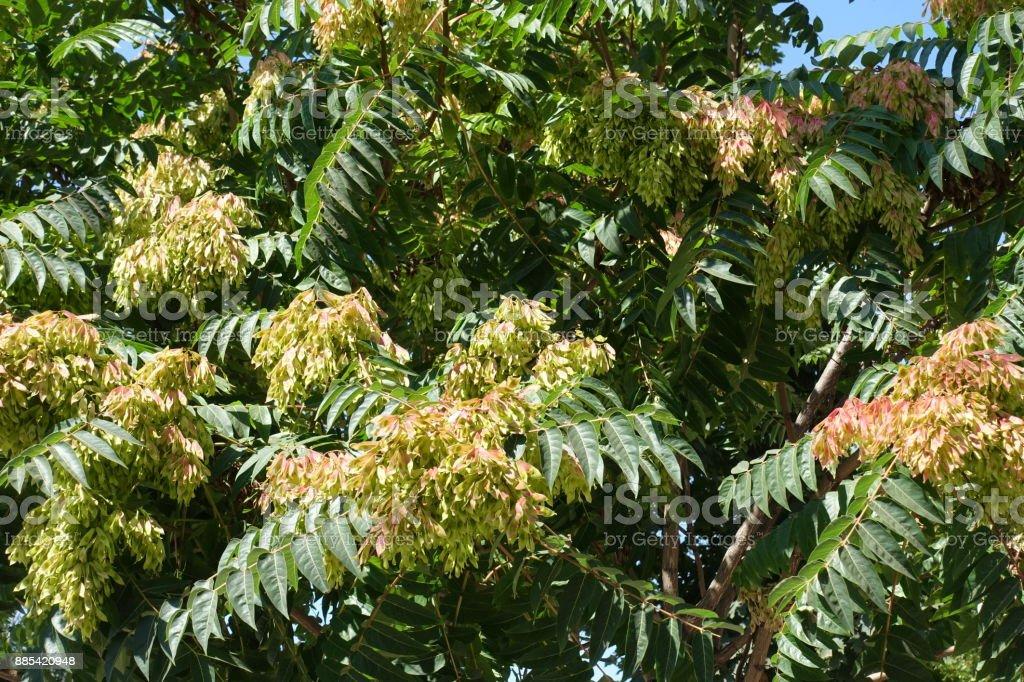 Samen auf ein weiblicher Baum GГ¶tterbaum altissima – Foto