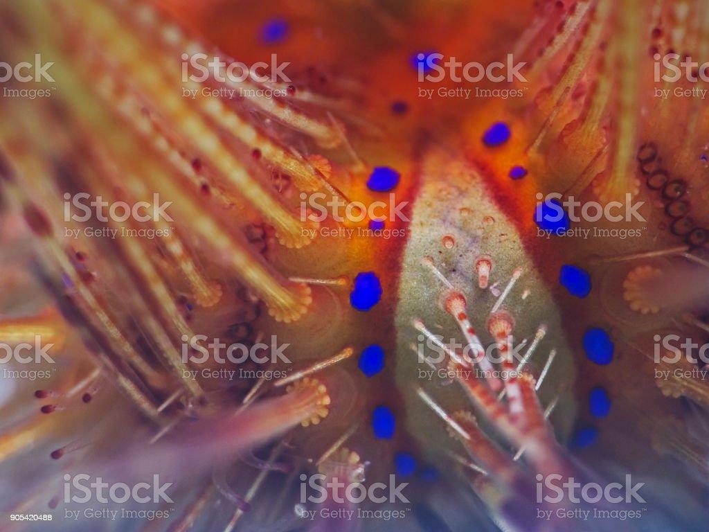 Seeigel Detail, Detail of a Sea Urchin (Asteropyga radiata) stock photo