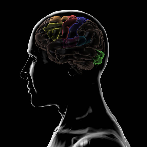 See-Through Left-side of the head and Brain 3D Rendering of see-Through Left-side of the head and Brain temporal lobe stock pictures, royalty-free photos & images
