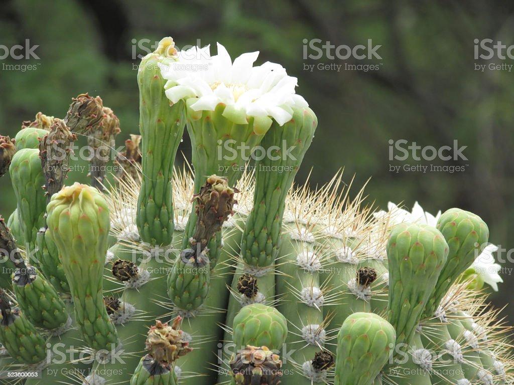 Seguaro Cactus Bloom stock photo