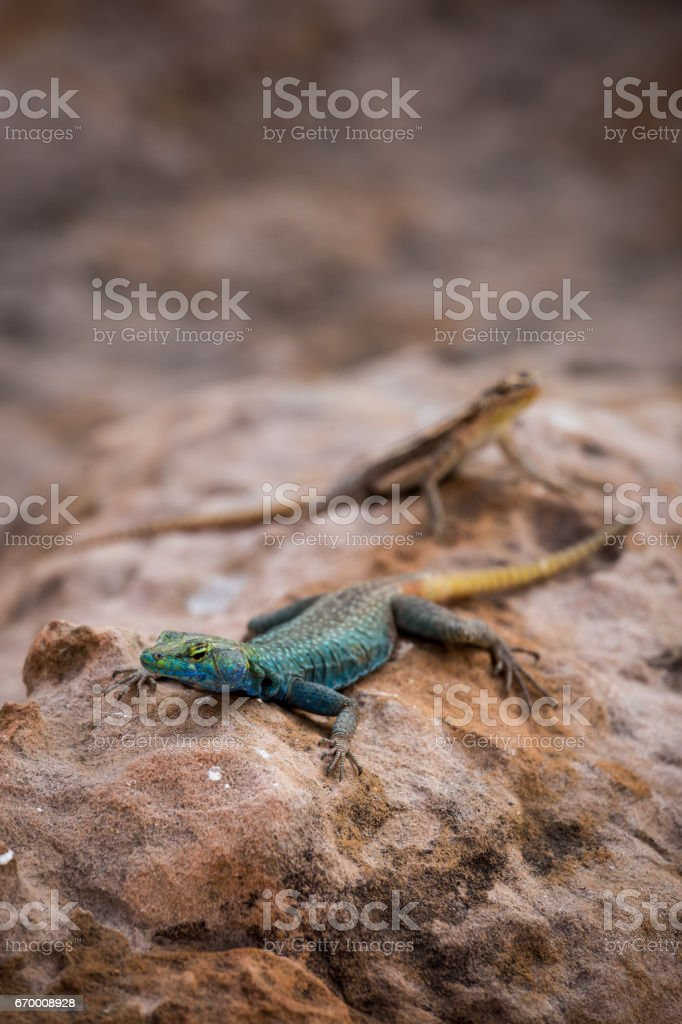 Sekukhune Flat Lizard and African Striped Skink on Stone, South Africa stock photo