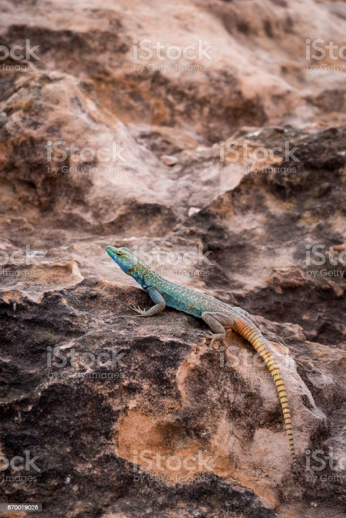 Sekukhune Flat Lizard (Platysaurus orientalis) on Stone, South Africa stock photo