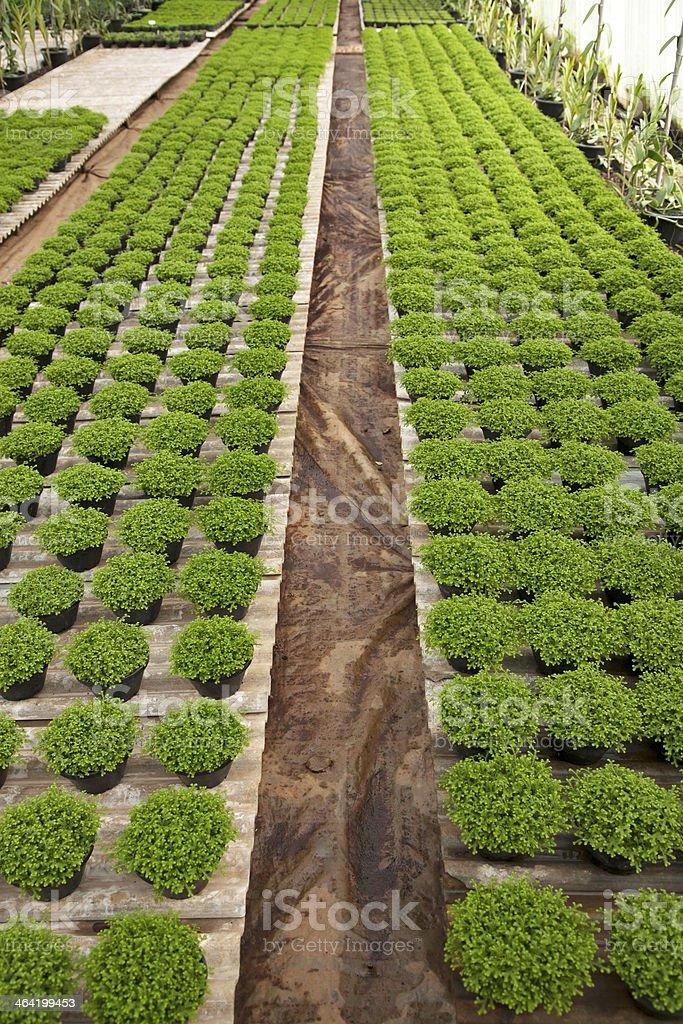 Selaginella apoda in row – Foto