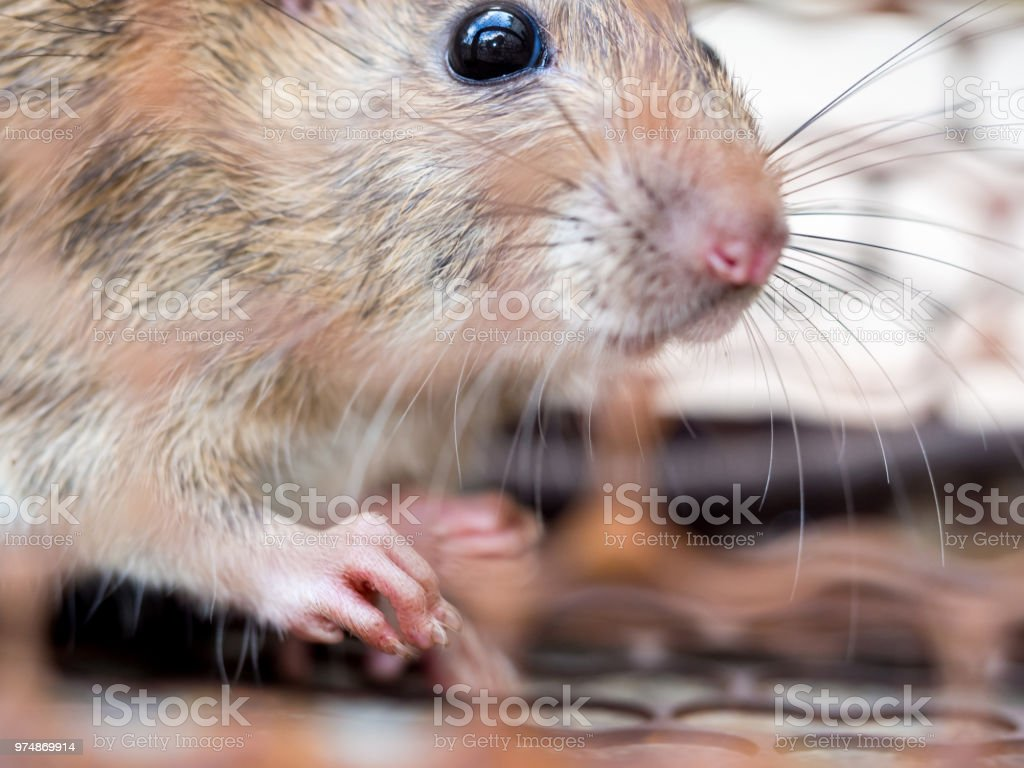 Select focus of the nail of the rat in the nick. Homes and dwellings should not have mice. Pest control.Animal contagious diseases prevent stock photo