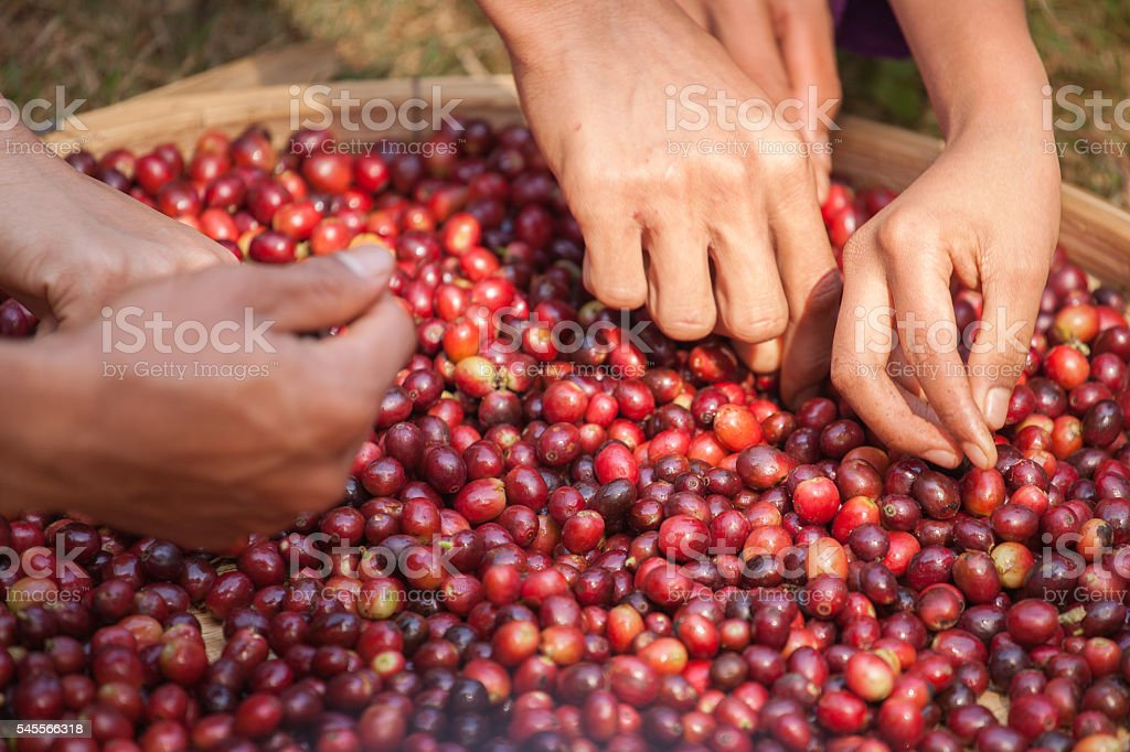 selecting bad coffee beans from group by hands stock photo